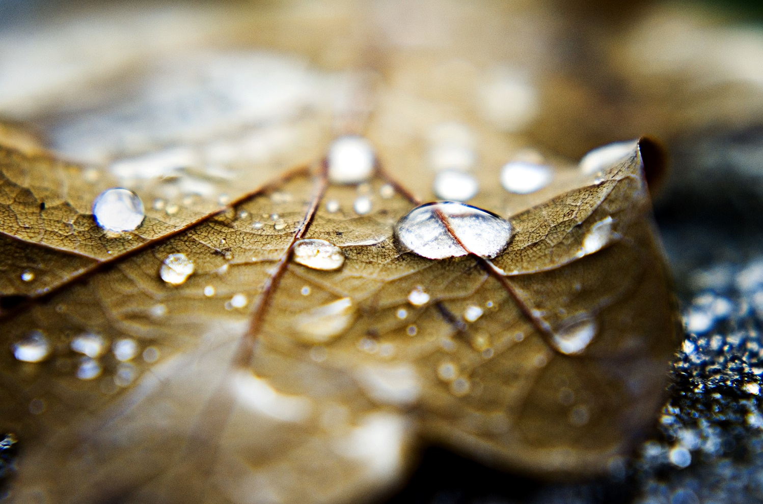 Droplets On Brown Leaf